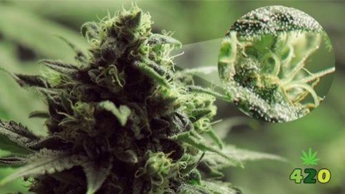 Trichromes of cannabis