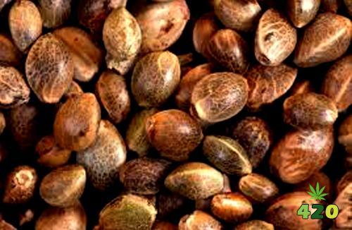 cannabis seeds.jpg