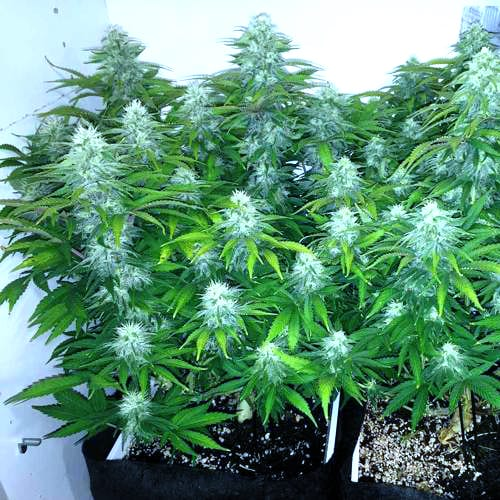How to Grow with Organic Super Soil 2
