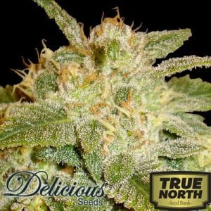 TOP 20 Best Auto Flowering Seeds from Reliable Seed Banks 2019