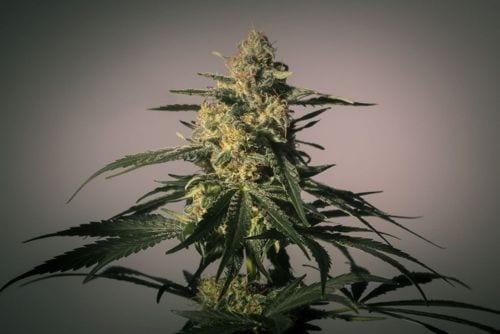 TOP 10 Extreme Medicinal Marijuana Strains Review - High CBD Seeds ONLY
