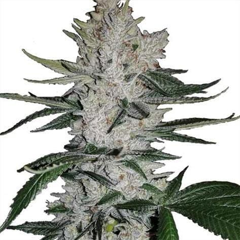 Top 20 Best feminized Seeds on the Online Market – Picked