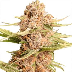 Girl Scout Cookies Extreme