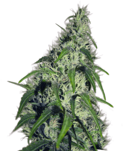 Highest Yielding Strains You Have Ever Seen – 20 Extremely Yielding Marijuana Seeds!