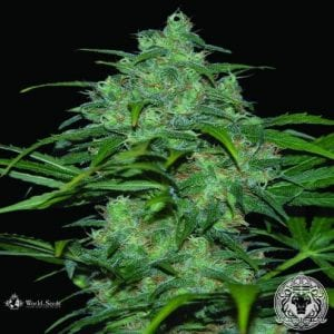 Best Mold Resistant Strain That You Can Buy Right Now – Tough Cannabis Seeds 2019