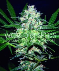 MUST- HAVE List of TOP Fastest Flowering Strains of 2019 – SPEEDY CANNABIS AT HOME