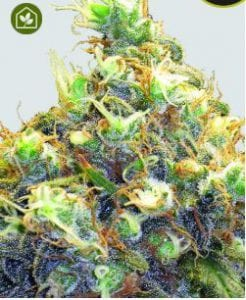 TOP 25 BEST REGULAR SEEDS - Regular Marijuana Ultimate List
