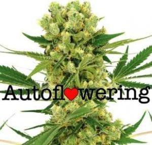 TOP 3 Greatest Ruderalis Cannabis Strains EVER – Best Autoflower Seeds!