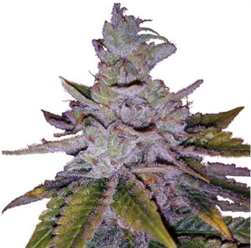 Purple Kush cannabis strain