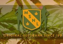 Marijuana Seeds NL (MSNL) SEEDS BANK REVIEW – Authentic and Reliable Online Seed Bank