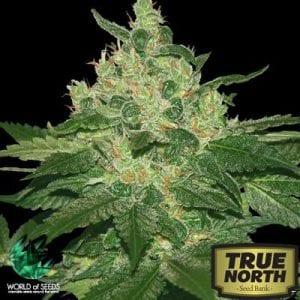 True North Seed Bank Review – Vastly Popular Online Marijuana Seedbank