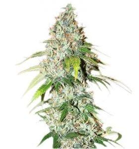 OG Kush Marijuana Strain Review
