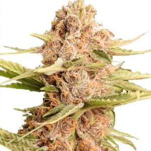 Girl Scout Cookie Extreme Weed Strain Review