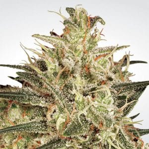 Paradise Seed Bank Review – Cannabis Seeds with 95% Germination Guarantee