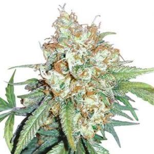Cherry Pie Marijuana Strain Review