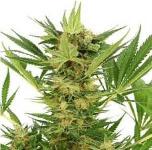 AK 47 Cannabis Strain Review