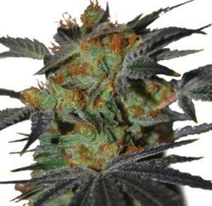 Agent Orange Cannabis Strain Reviews