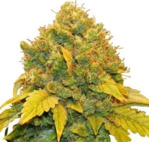 Banana Kush Marijuana Strain Review