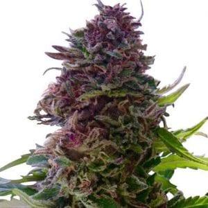 granddaddy-purple-seeds_600x600_crop_center