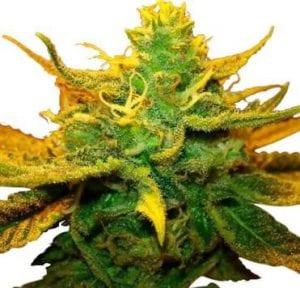 Mango Kush Marijuana Strain Review
