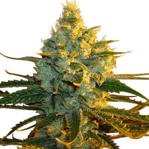 super-lemon-haze-seeds-fem