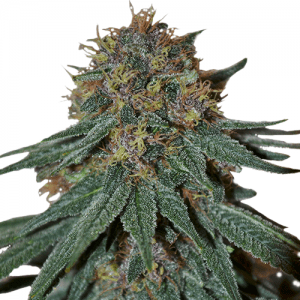 Purple Thai and Haze strains