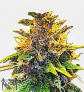 Purple Power Feminized Cannabis Seeds