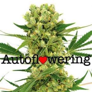 Amnesia Haze Cannabis Strain Review