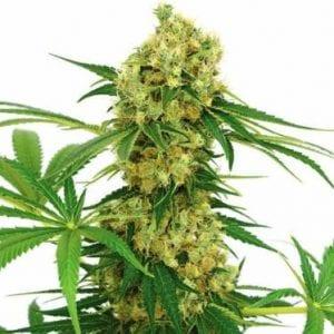 chocolope cannabis strain