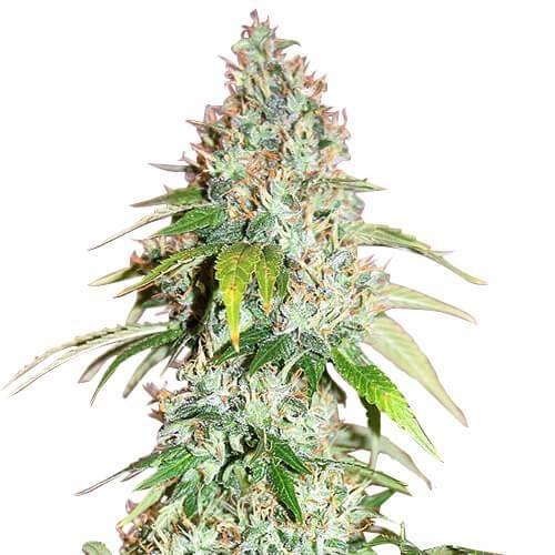 master-kush-cannabis-seeds