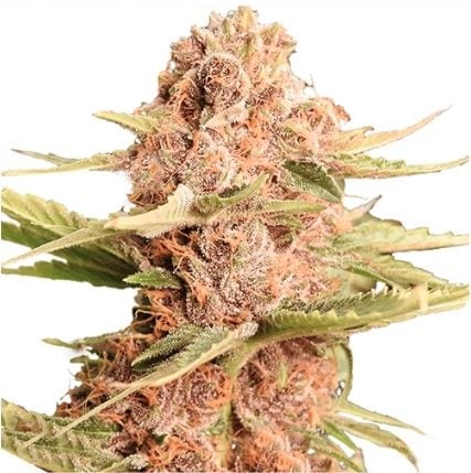 Girl Scout Cookies GSC