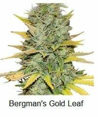 Bergman's Gold Leaf strain