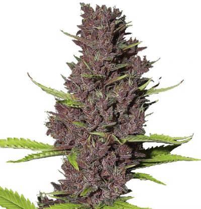 Blue dream cannabis strain