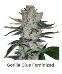 Gorilla Glue by ILGM