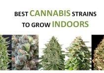 best-cannabis-seeds-grow-indoors-featured