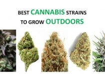 best-cannabis-strains-grow-outdoors-featured