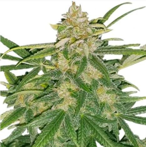 critical-mass-cannabis-strain
