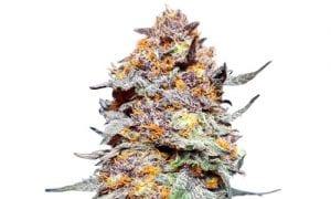 Granddaddy purple cannabis strain review