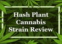 Hash Plant Cannabis Strain Review