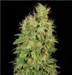CBD chronic cannabis strain