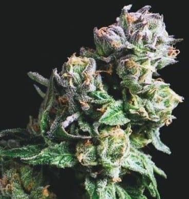 Purple Urkle strain