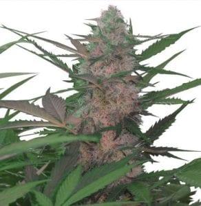 Red Congolese cannabis strain