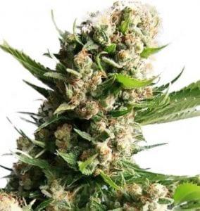 blueberry diesel cannabis strain