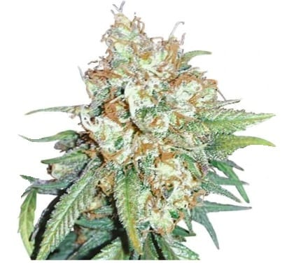 cherry pie cannabis strain