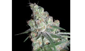 Chocolope Cannabis Strain Review