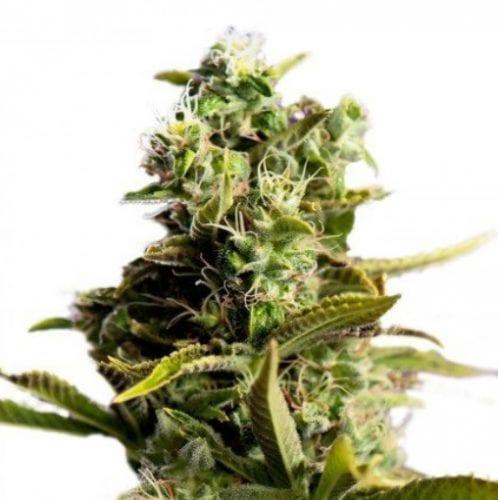 9 pound hammer cannabis strain