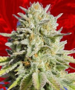 Gorilla Glue no4 cannabis strain