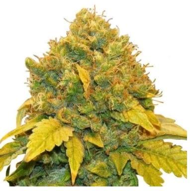 banana kush cannabis strain