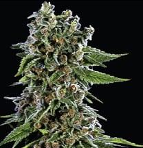 blackberry kush cannabis strain