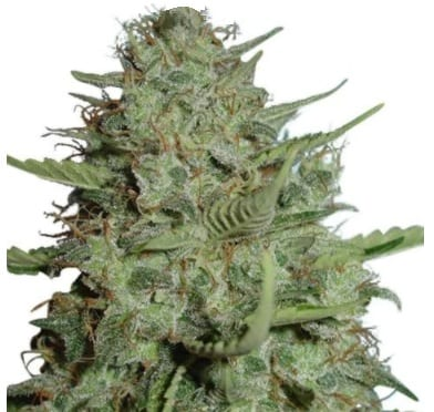 california dream cannabis strain ILGM